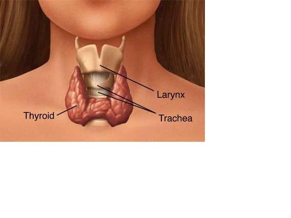 Где у женщины находится щитовидка