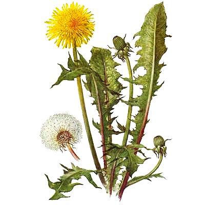Одуванчик растение